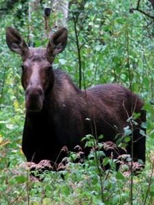 moose-west-mag